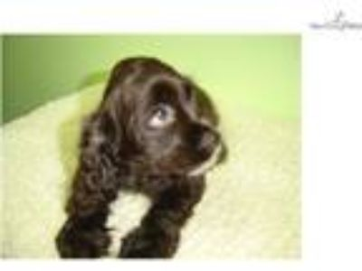 Cocker Spaniel (Empire Puppies)