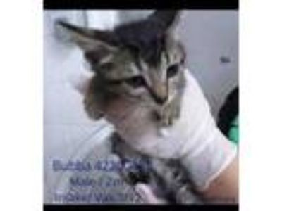 Adopt Bubba a Brown or Chocolate Domestic Shorthair / Domestic Shorthair / Mixed