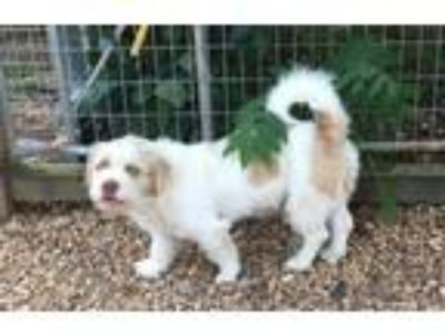 Adopt Petey a Tan/Yellow/Fawn - with White Basset Hound / Mixed dog in
