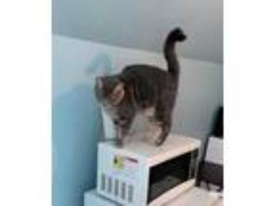 Adopt Tommy a Gray, Blue or Silver Tabby Domestic Shorthair / Mixed (short coat)
