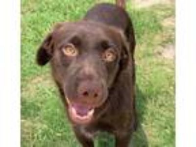 Adopt RIVER a Chocolate Labrador Retriever, Chesapeake Bay Retriever
