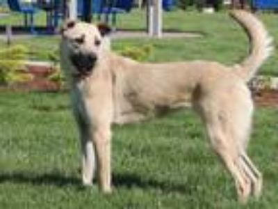 Adopt SKYE a Brown/Chocolate Anatolian Shepherd / Mixed dog in Maryland Heights