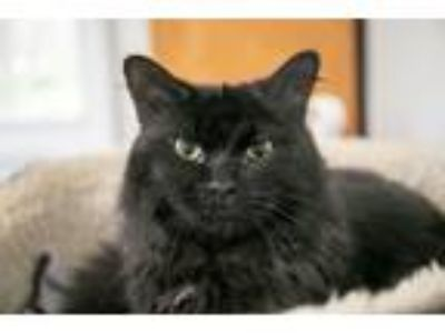 Adopt Simon-At the Adoption Center a All Black Domestic Longhair (long coat) cat