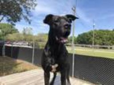 Adopt Renegade a Black Mixed Breed (Large) / Mixed dog in Land O'Lakes