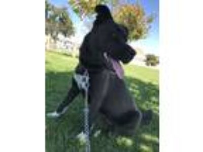 Adopt Willow a Black - with White Akita / Mixed dog in Midway City