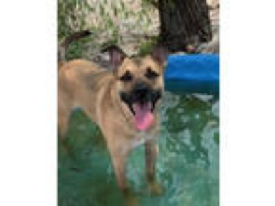 Adopt Brownie a Shepherd, Labrador Retriever