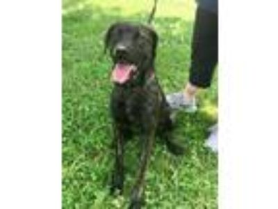 Adopt Haney a Brindle Mastiff / Mixed dog in Newburgh, IN (25745975)