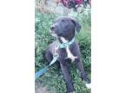 Adopt Lily Puppy a Australian Shepherd / Labrador Retriever / Mixed dog in