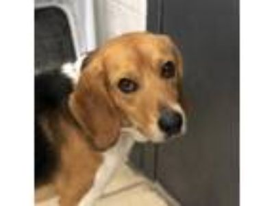 Adopt Snoop a Black Beagle / Mixed dog in Hopkinton, MA (25894921)