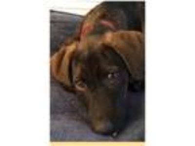 Adopt Mel a Tricolor (Tan/Brown & Black & White) Plott Hound / Mixed dog in Crum
