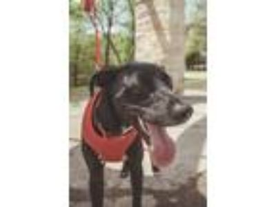 Adopt Taco a Black - with White Labrador Retriever / Great Dane / Mixed dog in