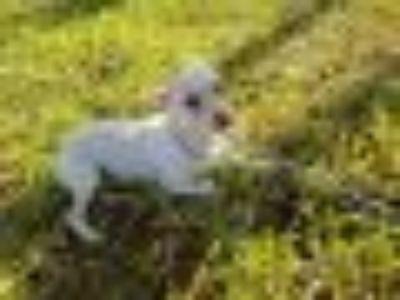 Bebo Chihuahua Dog