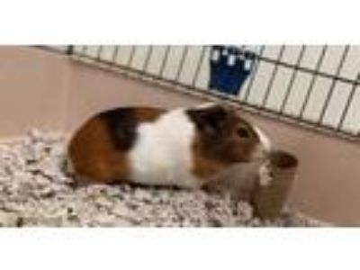 Adopt Rocket a Brown or Chocolate Guinea Pig / Guinea Pig / Mixed small animal
