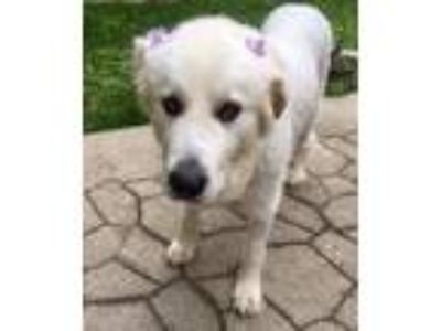 Adopt Shellie a White Great Pyrenees dog in East Greenville, PA (25315954)