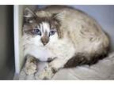 Adopt Huckleberry (fiv+) a Domestic Longhair / Mixed cat in Napa, CA (24835572)