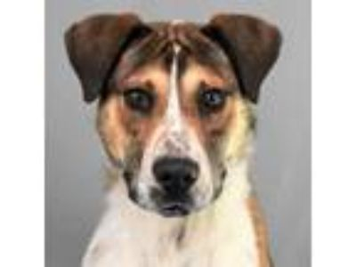 Adopt Duggy a Australian Cattle Dog / Blue Heeler