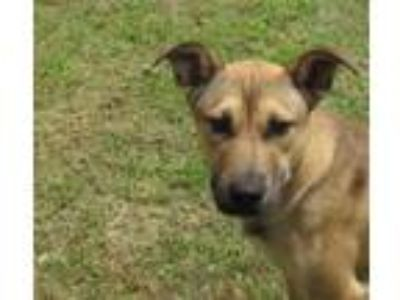 Adopt TRIXIE a Shepherd, Black Mouth Cur