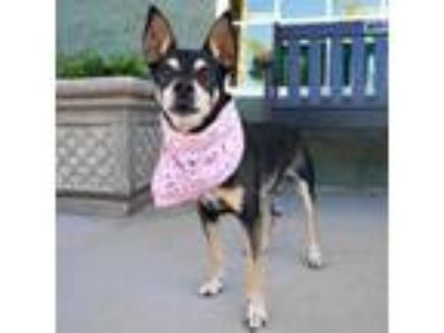 Adopt Ruby -Senior a Miniature Pinscher