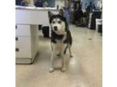 Adopt Dog a Black - with White Husky / Mixed dog in Jurupa Valley, CA (25557830)