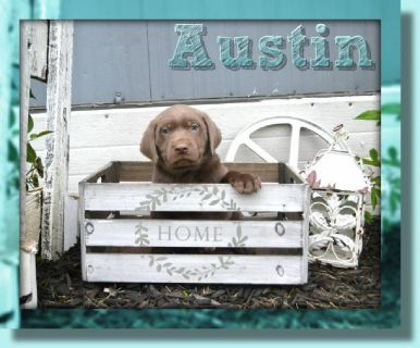 Austin Male Labrador Retriever
