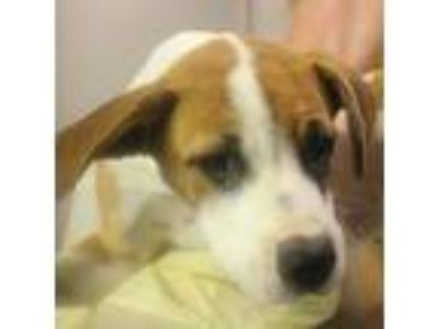 Adopt Quito a Tan/Yellow/Fawn Boxer dog in Hattiesburg, MS (25891001)