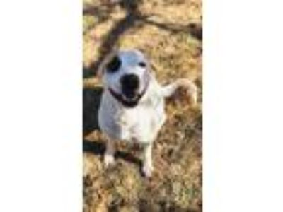 Adopt Shiner a White - with Tan, Yellow or Fawn Labrador Retriever dog in