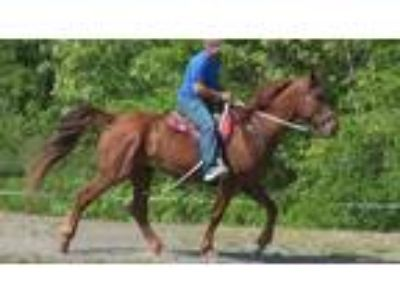 A big gentle giant gaited experienced trail horse