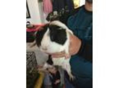 Adopt Salted a Calico Guinea Pig (short coat) small animal in Lancaster