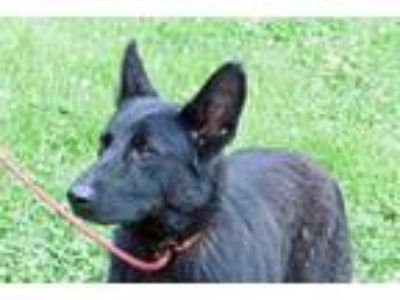 Adopt Chica a Black Shepherd (Unknown Type) / Mixed dog in Batavia
