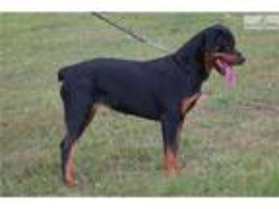 Champion Sired German AKC Rottweiler Youth Female