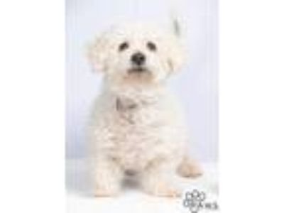 Adopt Snowball a White Bichon Frise / Mixed dog in Tinley Park, IL (25570128)