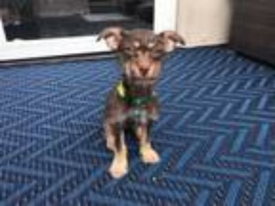 Adopt Jenn *Applications Full* a Yorkshire Terrier, Dachshund
