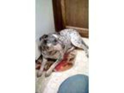 Adopt Cooper a Australian Cattle Dog / Blue Heeler, Pit Bull Terrier
