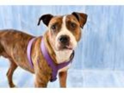 Adopt Mimi a Pit Bull Terrier / Mixed dog in Park City, UT (24749021)