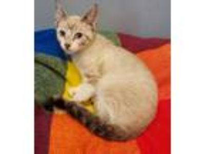 Adopt Te'a a Cream or Ivory (Mostly) Domestic Shorthair / Mixed (short coat) cat