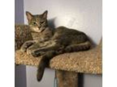 Adopt Smurf a Gray, Blue or Silver Tabby Domestic Shorthair cat in Brandon