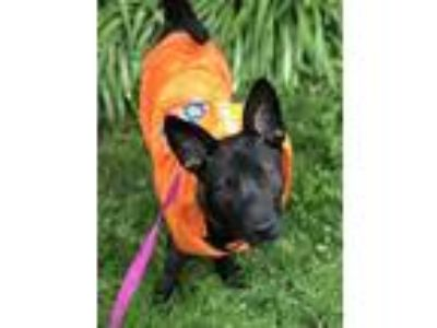 Adopt Dakota a Labrador Retriever, German Shepherd Dog