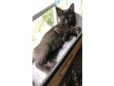 Adopt Tanya a Black (Mostly) Domestic Shorthair / Mixed (short coat) cat in