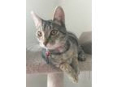 Adopt HAILEY - Maui Rescue Kitten a Domestic Short Hair, Tabby