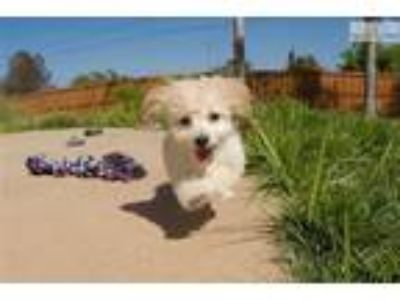 MaltiPoo puppy for sale - Maltese x Toy Poodle .