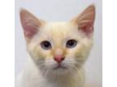 Adopt Cinnamon a Cream or Ivory (Mostly) Siamese / Mixed (short coat) cat in