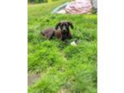 Adopt Kennedy Newberry a Black - with Brown, Red, Golden