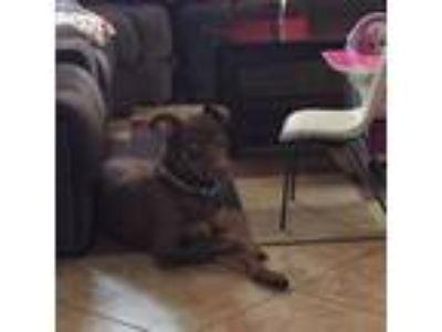 Adopt Lucky a Brown/Chocolate - with Tan Doberman Pinscher dog in Fontana