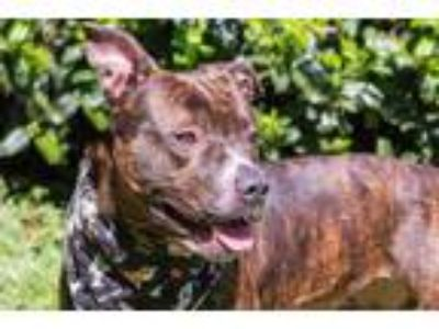 Adopt Karlee a Brindle American Pit Bull Terrier / Mixed dog in Spartanburg