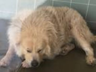 Adopt Teddy Bear a Great Pyrenees