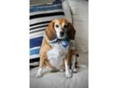 Adopt Teddy a Tricolor (Tan/Brown & Black & White) Beagle / Mixed dog in