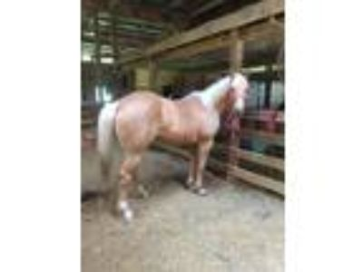 Super sweet mare gentle for youth or beginner