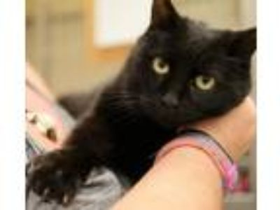 Adopt CHARCOAL a All Black Bombay / Mixed (short coat) cat in Hemet