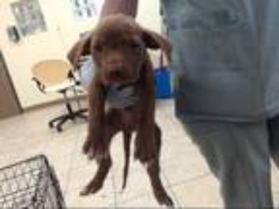 Adopt WYLIE a Brown/Chocolate Labrador Retriever / Mixed dog in Houston