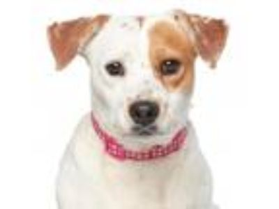 Adopt Chipotle a White - with Brown or Chocolate Terrier (Unknown Type